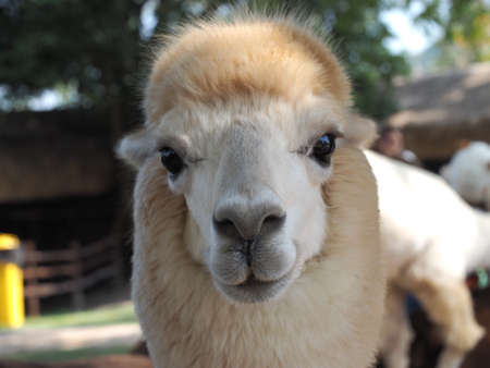 nose: Portrait of alpaca