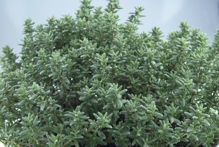 tomillo: Tomillo hierbas aromáticas