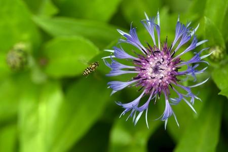 A fly is flying near cornflower (bluebottle) in th field. photo