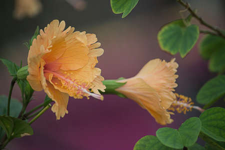 Particular Focus of Two Hibiscus Flowers With Green Leaves Nature Background