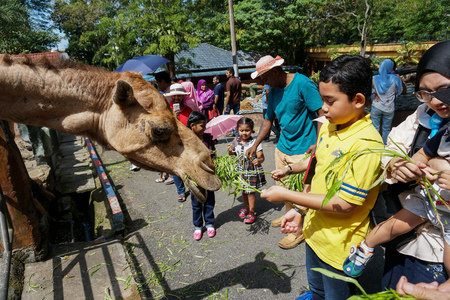JOHOR,MALAYSIA - FEBRUARY 2019 : Visitor take their turn feeding the camels with their kids. One of interaction activities with animals available in the zoo. - Image 報道画像
