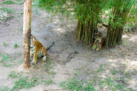 The Malayan tiger (Panthera tigris tigris) a tiger population in Peninsular Malaysia. The tiger with its newly born cubs. Banco de Imagens