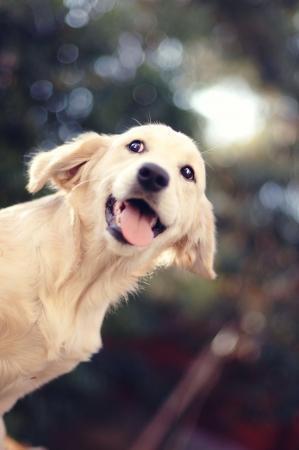 slobber: A beautiful young Golden Retriever dog portrait