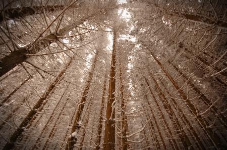 madera pino: Madera de pino en invierno Dreamy
