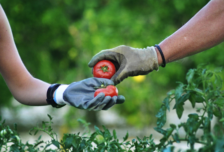 working hands: Picking tomatoes