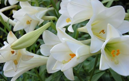 Group of Lillies Stock Photo - 604690