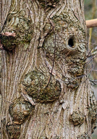 hollow tree: Trunk of an oak tree with abstract design of face