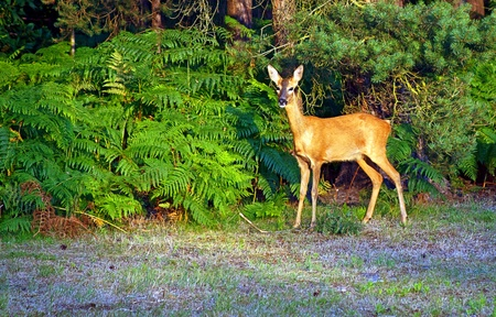 Very alert young deer at Avon Heath near Ringwood UK photo