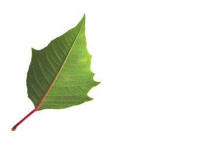 Red leaf isolated in a white background photo