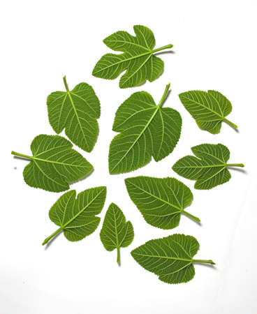 Green leafs in a white background photo