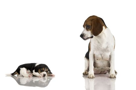 A beagle mom after is pregnancy looking to her puppy Stock Photo - 836557