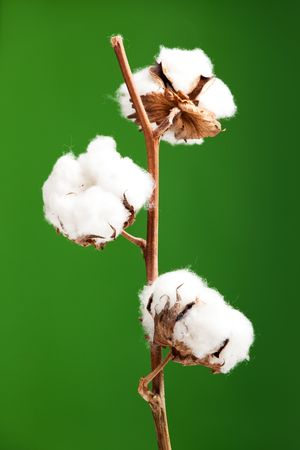 cotton bud: Cotton plant isolated over a green background Stock Photo