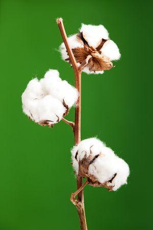 Planta de algodón aislado sobre un fondo verde