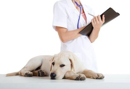 Młodych kobiet weterynaryjnych biorąc pod opiekę nad pięknym PSA labrador Zdjęcie Seryjne