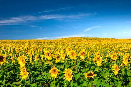 Landscaoe photo d'une belle prairie avec des tournesols