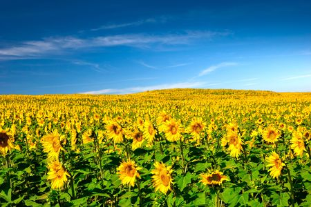 Landscaoe picture of a beautiful meadow with sunflowers Stock Photo - 6197690