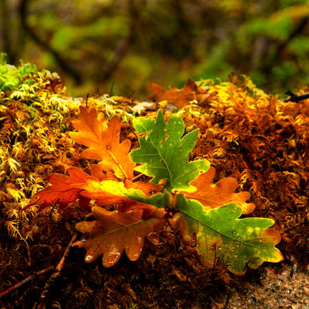 Beautifil colored leafs from a oak tree Stock Photo