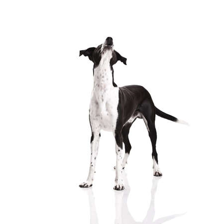 breeds: Beautiful mixed breed dog, over white background