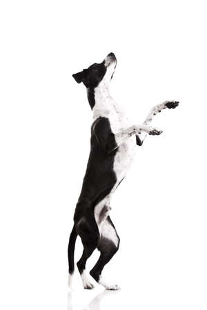 Beautiful mixed breed dog, standing over white background