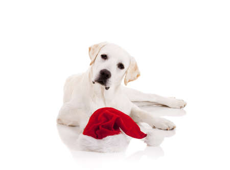 Portrait of a Labrador retriever with a Santa hat isolated on white background Stock Photo - 8372340
