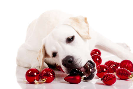 Beautiful Labrador retriever playing with Christmas balls, isolated on white background Stock Photo - 8372357