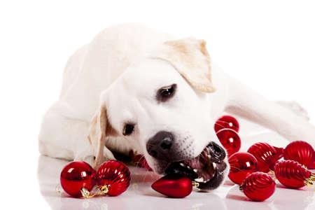labrador christmas: Beautiful Labrador retriever playing with Christmas balls, isolated on white background