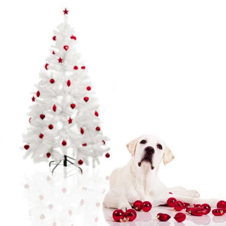 pups: Beautiful Labrador retriever lying on the floor with a christmas tree on the background