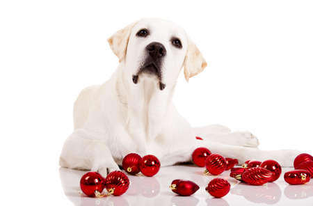 Beautiful Labrador retriever surrounded by Christmas balls, isolated on white background photo