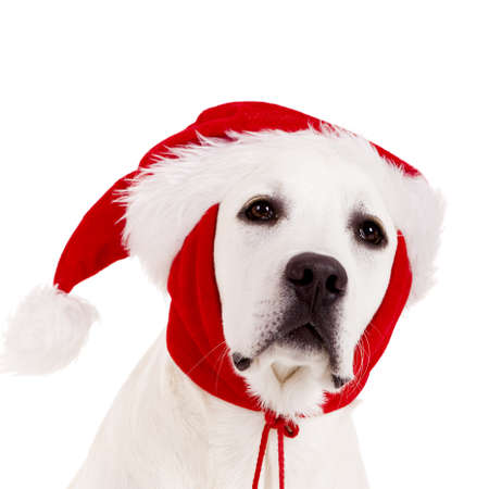 Close-up portrait of a Labrador retriever with a Santa hat isolated on white background Stock Photo - 8372369