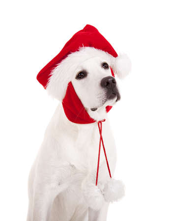 Portrait of a Labrador retriever with a Santa hat isolated on white background Stock Photo - 8372342