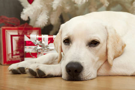 Beautiful Labrador retriever on Christmas day lying on the floor photo