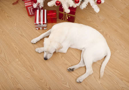 Beautiful Labrador retriever on Christmas day lying on the floor Stock Photo - 8373295