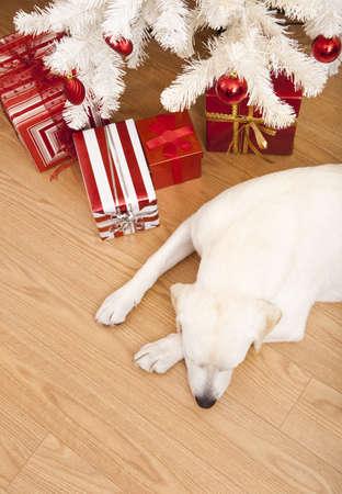 Beautiful Labrador retriever on Christmas day lying on the floor Stock Photo - 8373311