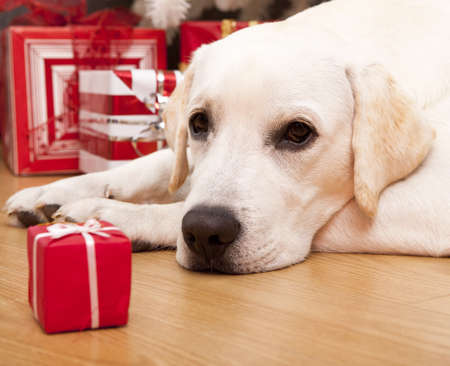 christmas day: Beautiful Labrador retriever on Christmas day lying on the floor