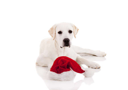 Portrait of a Labrador retriever with a Santa hat isolated on white background Stock Photo - 8407429