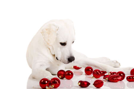 labrador christmas: Beautiful Labrador retriever surrounded by Christmas balls, isolated on white background