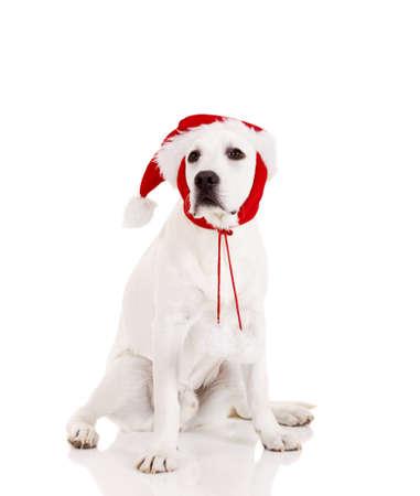 Portrait of a Labrador retriever with a Santa hat isolated on white background photo