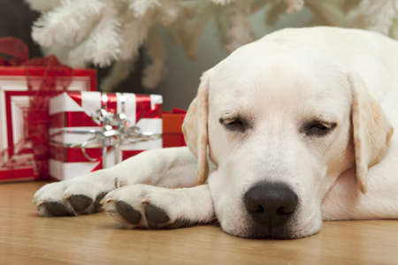 Beautiful Labrador retriever on Christmas day lying on the floor Stock Photo - 8458488