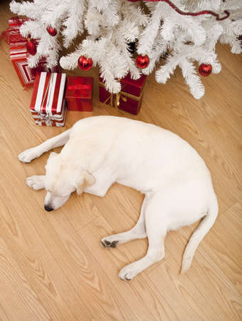 Beautiful Labrador retriever on Christmas day lying on the floor Stock Photo - 8458496