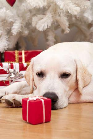 Beautiful Labrador retriever on Christmas day lying on the floor photo