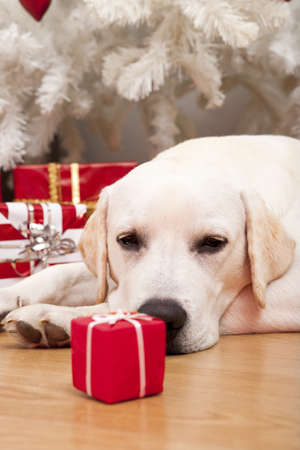 labrador christmas: Beautiful Labrador retriever on Christmas day lying on the floor