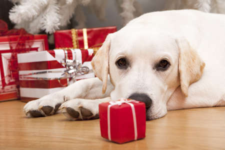 Beautiful Labrador retriever on Christmas day lying on the floor Stock Photo - 8458481
