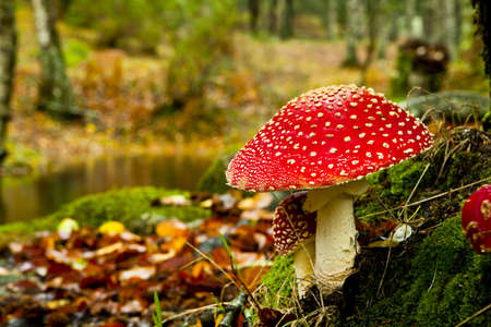 Close-up foto van een giftige paddestoel Amanita in de natuur