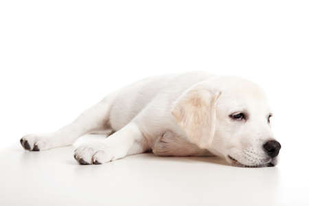 Beautiful labrador retriever puppy isolated on white background with a sleep look photo
