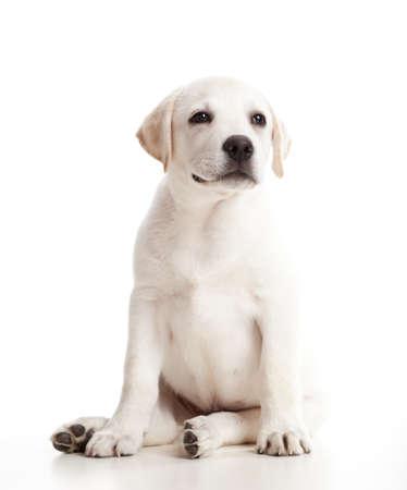 Hermosa labrador retriever crema cachorro aislada sobre fondo blanco
