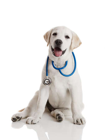 Beautiful labrador retriever with a stethoscope on his neck, isolated on white Stock Photo - 8875895