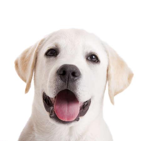 lengua afuera: Hermoso retrato de un cachorro labrador retriever con la lengua fuera aislado en blanco