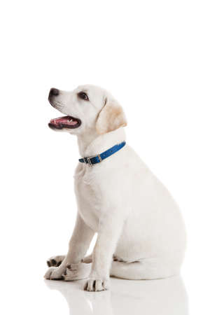 labrador puppy: Beautiful labrador retriever cream puppy isolated on white background wearing a blue dog-collar