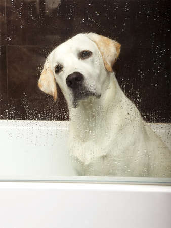 droop: Beautiful labrador retriever inside the bathtub waiting for the bath Stock Photo