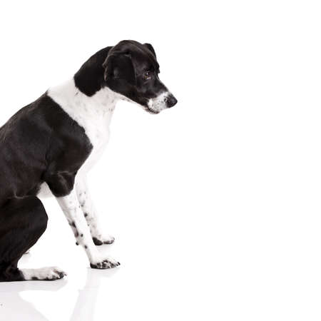 Beautiful mixed breed dog sitting over white background Stock Photo - 9111836